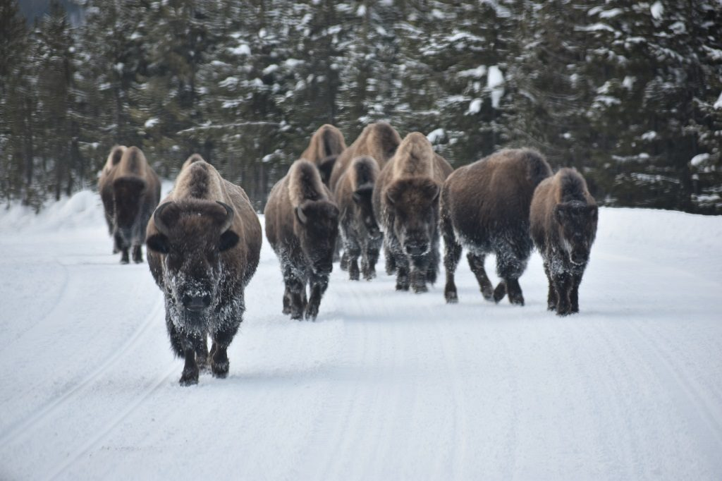 Yellowstone National Park in Winter