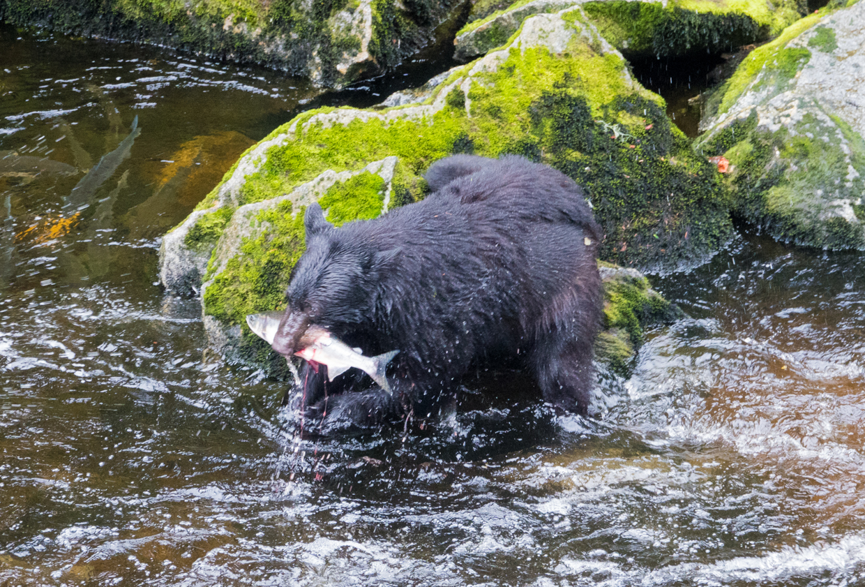 a bear catchiing salmon at Anon Bear Observatory